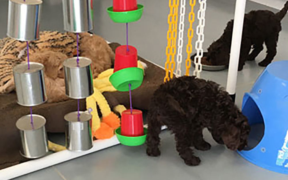 labradoodle puppy socialization
