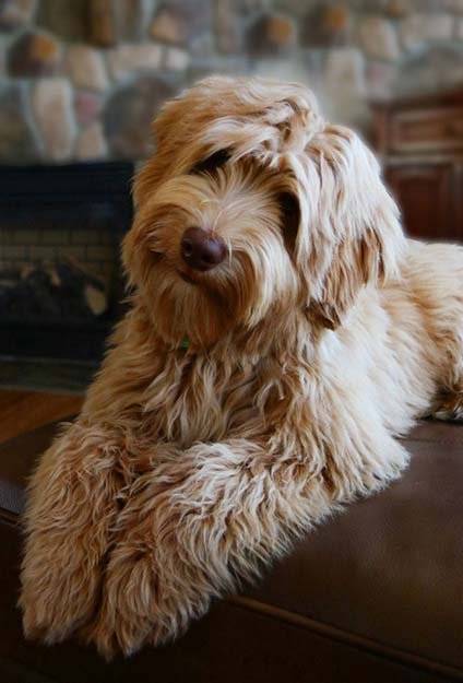 labradoodle breeding dogs