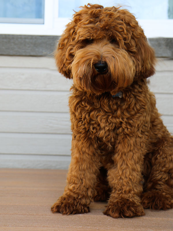 labradoodle puppy availability