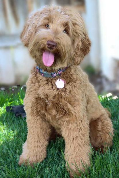 Daisy Hill labradoodles