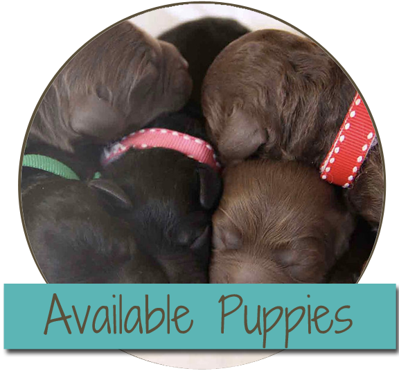 australian labradoodle puppies near me
